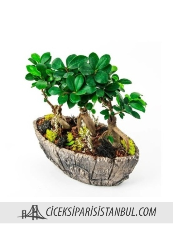 Gingseng Bonsai