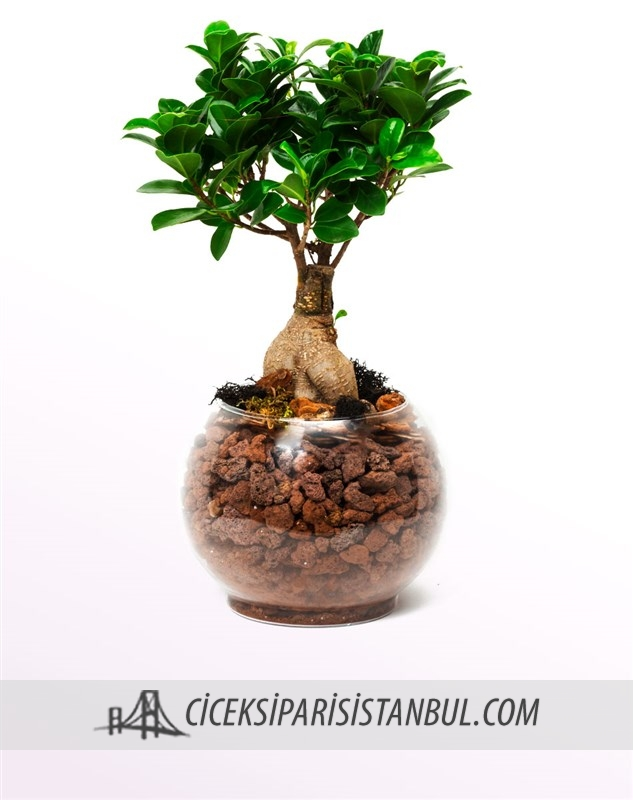 Gingseng Ficus Bonsai